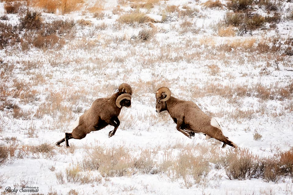 Bighorn Sheep in the Rut - Ramming by Packy Savvenas