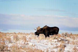 Big Bull Moose Beautiful Blue Sky and Sage Brush