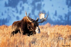 Big Bull Moose Golden Hour Grand Tetons