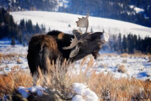 Big Bull Moose Turning Around And Looking At Me
