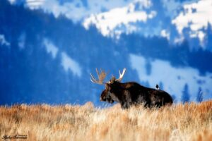 Bill Bull Moose with a Magpie hitching a ride