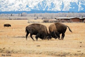 Bison Stampede Yellowstone National Bison Day Photography Packy Savvenas