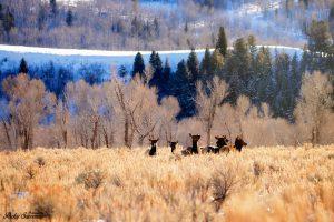 Cow Elk Golden Hour - Grand Tetons