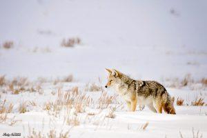 Coyote Grand Tetons - National Park