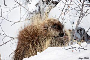 Golden Porcupine in Grand Tetons National Park