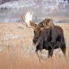 Moose Standing Tall 5 Feet Away