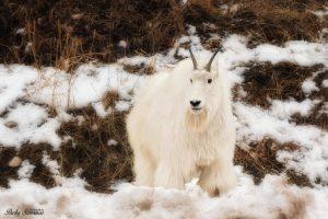 Mountain Goat Yellowstone