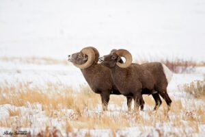 Two Bull Bighorn Sheep Calling Out