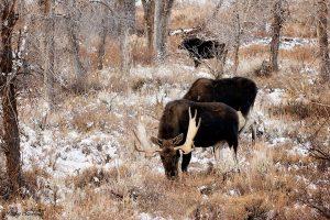 Two Bull Moose Female Moose