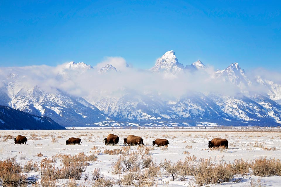 Bison moving across the Grand Tetons