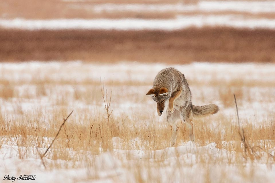 The Pouncing Mouse Hunting Coyote in the National Elk Refuge