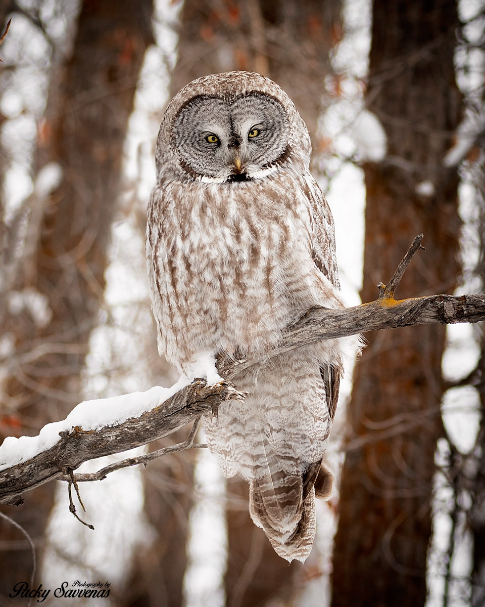 Gret Grey Owl - Photo by Packy Savvenas - Grand Tetons