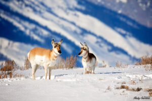 Pronghorn Antelope in the Grand Tetons - Winter Shot