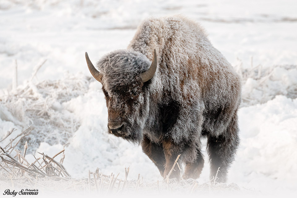 A Frosty Bison - Frozen Bison - Grand Teton National Park