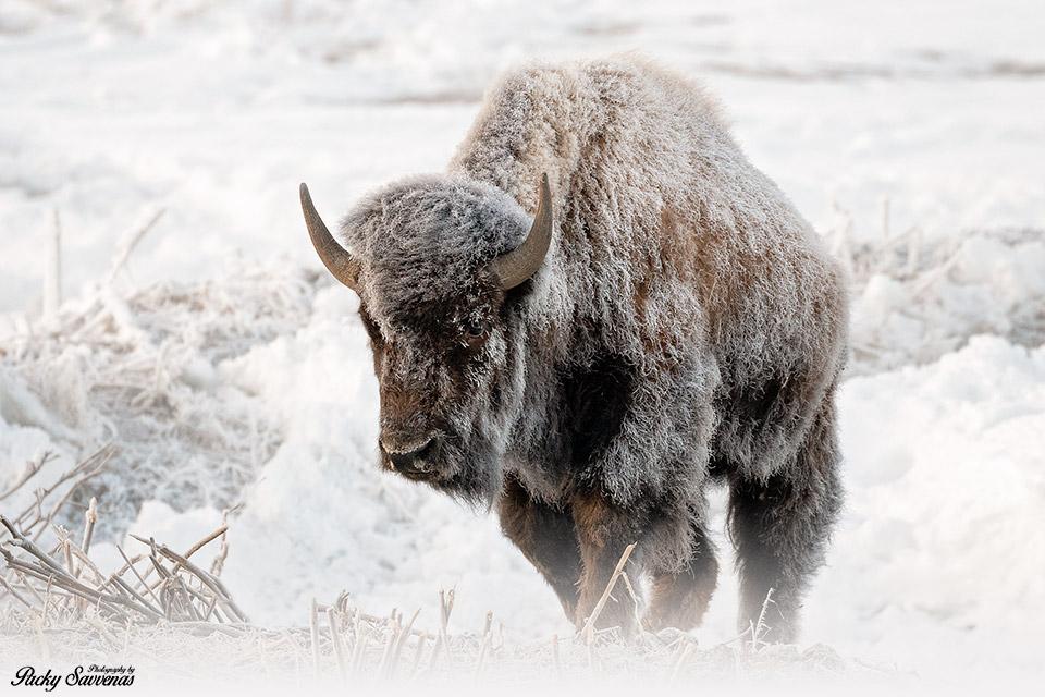 A Frosty Bison - Frozen Bison - Grand Teton National Park