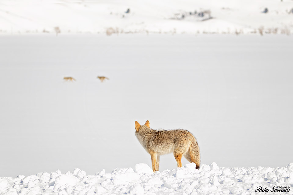 Coyote Howling Calling Grand Tetons National Park - Packy Savvenas