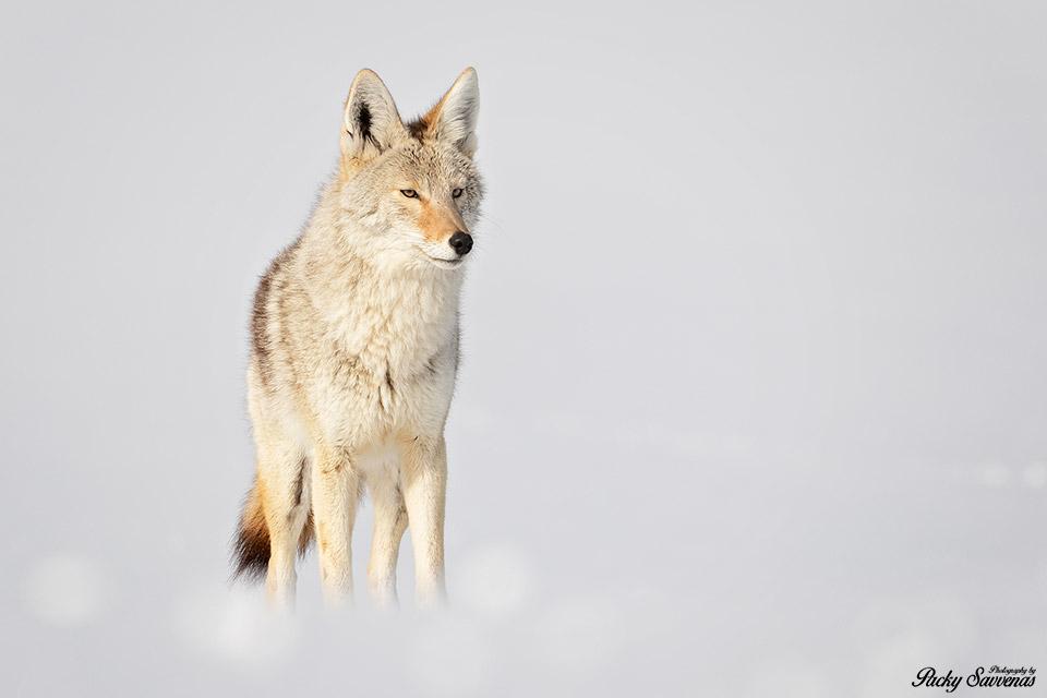 Coyote Mating Season Grand Tetons National Park - Packy Savvenas