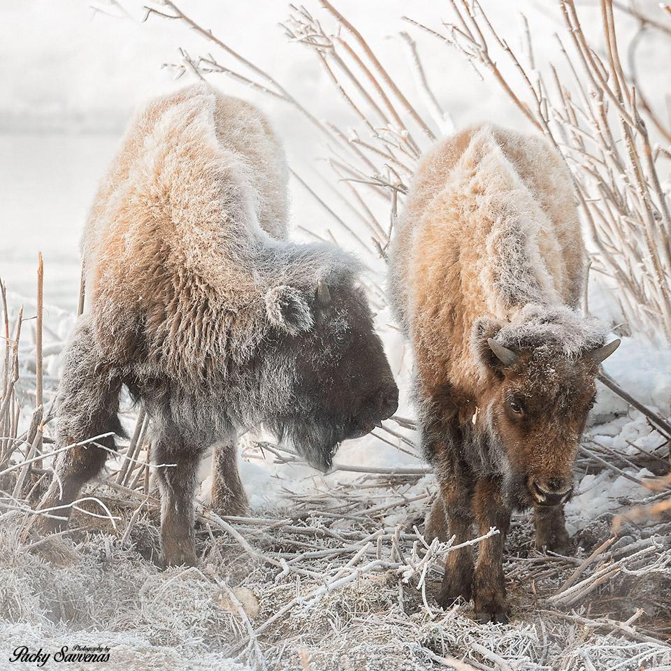 Frosty Bison Baby - Frozen American Bison - Grand Teton National Park