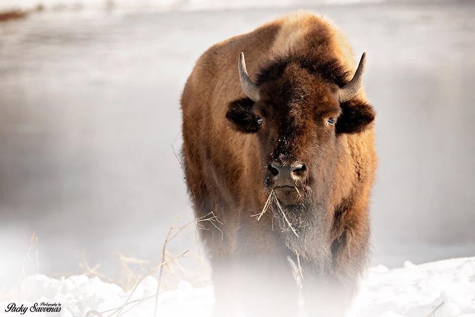 Male Bison - Steaming Stream - Grand Tetons National Park - Packy Savvenas