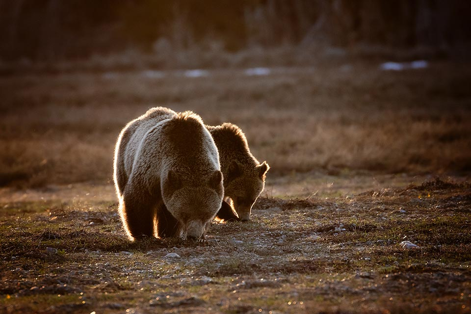 Grizzly Bear Charge - Photography by Packy Savvenas